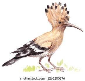 Hoopoe bird in the grass