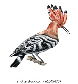 The hoopoe bird on white background. Illustration. Watercolor