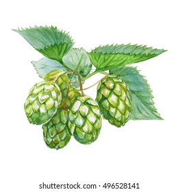 Hops cones. Isolated on a white background. Watercolor illustration.