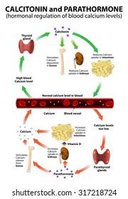Hormonal regulation of blood calcium levels.