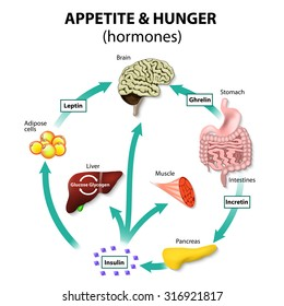 Hormones appetite and hunger. Human endocrine system. Incretin, ghrelin, leptin and insulin