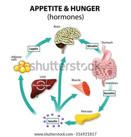 Hormones Appetite Hunger Human Endocrine System Stock Illustration ...
