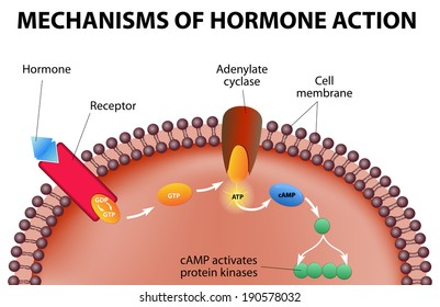 Hormones bind to receptors on the plasma membrane. The hormone itself is the first messenger. Binding to the receptors activates a second messenger inside the cell.