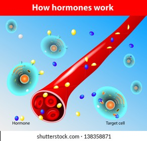 Hormones work. When a hormone outside of a capillary, it can act on a target cell. A steroid hormone is capable of crossing through the cell membrane.