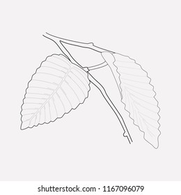 Hornbeam leaf icon line element.  illustration of hornbeam leaf icon line isolated on clean background for your web mobile app logo design.