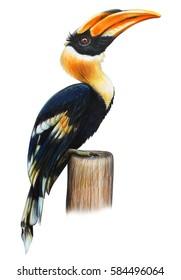 Hornbill bird drawing (Buceros bicornis)