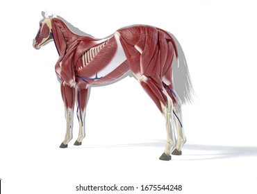 Horse Anatomy. Muscular system over grey silhouette, Rear - side perspective on white background. Clipping path included. 3d illustration.