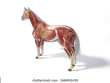 Horse Anatomy. Muscular/skeletal systems over grey silhouette, Rear - side perspective on white background. Clipping path included.