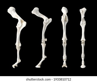 Horse Equine Foreleg is structure made of dozens of bones, joints, muscles, tendons, and ligaments that support weight. Isolated black background 3d illustration different angle view realistic set