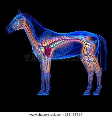 Horse Heart Circulatory System Anatomy On Stock Illustration