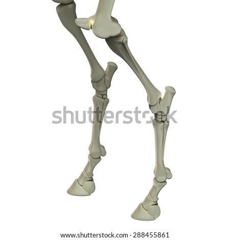 Horse Hind Leg Bones Anatomy Isolated Stock Illustration 288455861