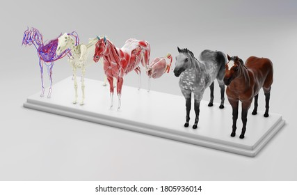 Horse Internal Organs Anatomy isolated on white. 3d rendering