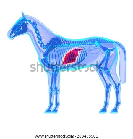 Horse Liver Anatomy Isolated On White Stock Illustration 288455501