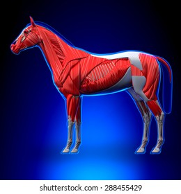 Horse Muscles Anatomy - on blue background