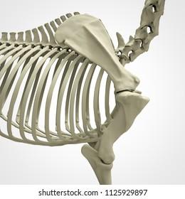 Horse Skeleton Anatomy - isolated on white. 3d rendering