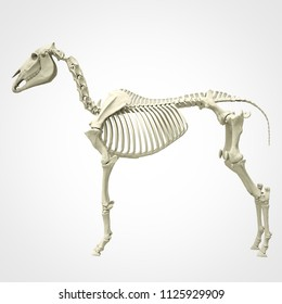 Horse Skeleton Anatomy - isolated on white. 3d rendering
