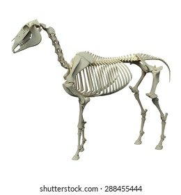 Horse Skeleton Anatomy - side view isolated on white