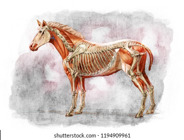 HORSE SKELETON SEE THROUGH SKETCH / WATER COLOR PAINTING
