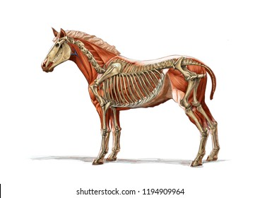HORSE SKELETON SEE THROUGH SKETCH / COLOR PENCIL DRAWING