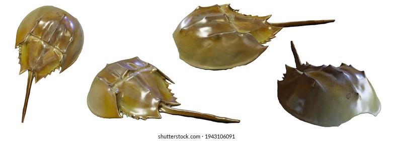 horseshoe crab isolated on white background (3d illustration)