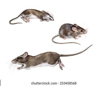 The house mouse (Mus musculus): running, sitting, dead