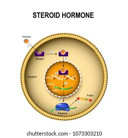 How steroid hormones work. interaction of the hormone with the intracellular receptor. Human endocrine signaling system