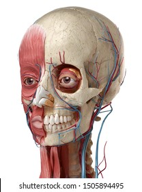 Human anatomy 3d illustration of head with skull, eye bulbs, blood vessels and muscles, on white background.