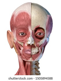 Human anatomy 3d illustration of the head muscles full on left side and partial on right side. Front view on white background.