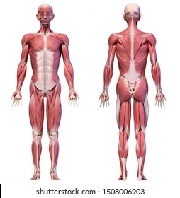 Human anatomy 3d illustration, male muscular system full body, front and back views on white background.