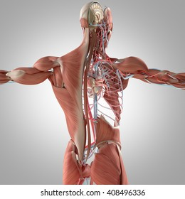 Human anatomy, back. 3D illustration. Muscular and vascular system.