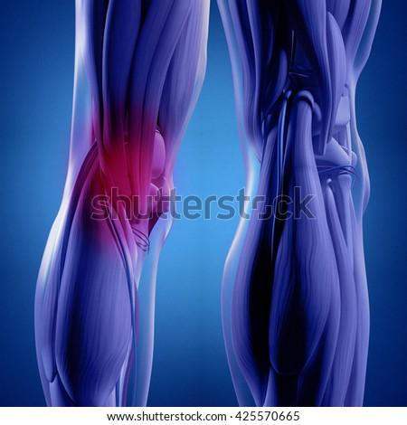 Human Anatomy Back Legs Calf Muscles Stock Illustration Royalty