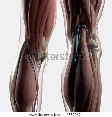 Human Anatomy Back Legs Calf Muscles Stock Illustration 425570674
