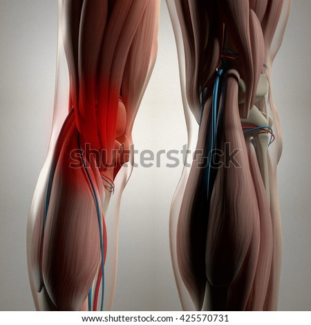 Human Anatomy Back Legs Calf Muscles Stock Illustration 425570731