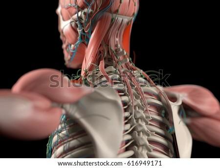 Human Anatomy Back Neck Spine Scapula Stock Illustration 616949171