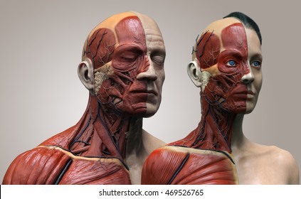 Human anatomy background , male and female , muscle anatomy of the face neck chest and shoulder ,realistic 3D rendering