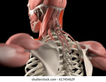 Human anatomy body. Spine, back of neck & scapula. Muscular and skeletal system. Professional lighting. 3d illustration.