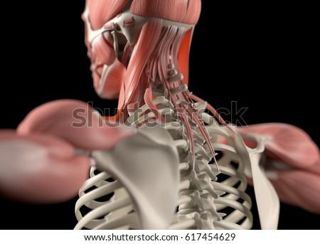 Human Anatomy Body Spine Back Neck Stock Illustration 617454629