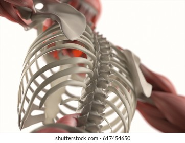 Human anatomy body. Spine, rib cage, back, torso. Muscular and skeletal system. Professional lighting. 3d illustration.