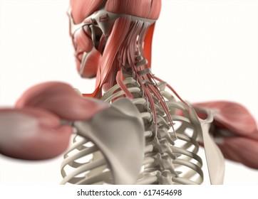 Human anatomy body. Spine,back of neck & scapula. Muscular and skeletal system. Professional lighting. 3d illustration.