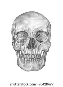 human anatomy - bones of the head