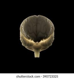 Human anatomy brain front view. Back-lit on dark background.