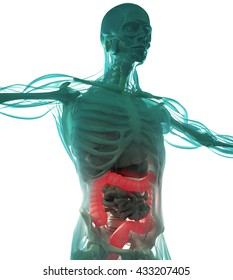 Human anatomy, colon. Xray-like view. Colon highlighted in red. 3d illustration.