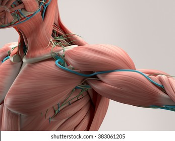 Human anatomy detail of shoulder. Muscle, arteries on plain studio background. Professional lighting.
