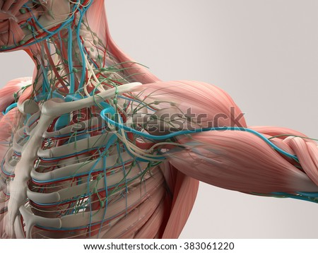 Human anatomy detail of shoulder. Muscle, bone structure, arteries. On plain studio background. Professional lighting.