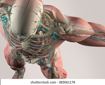 Human anatomy detail of skull and shoulder. Bone structure, muscle, arteries. On plain studio background. Professional lighting.