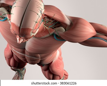 Human anatomy detail of skull and shoulder. Muscle, arteries. On plain studio background. Professional lighting.