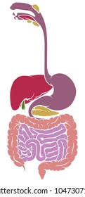 A human anatomy diagram of the gut gastrointestinal tract digestive system