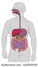 Gastrointestinal Tract Images, Stock Photos & Vectors | Shutterstock