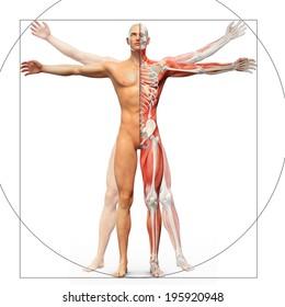 Human anatomy displayed as the vitruvian man by Leonardo da Vinci