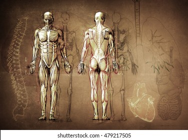 Anatomy Drawing Images, Stock Photos & Vectors | Shutterstock